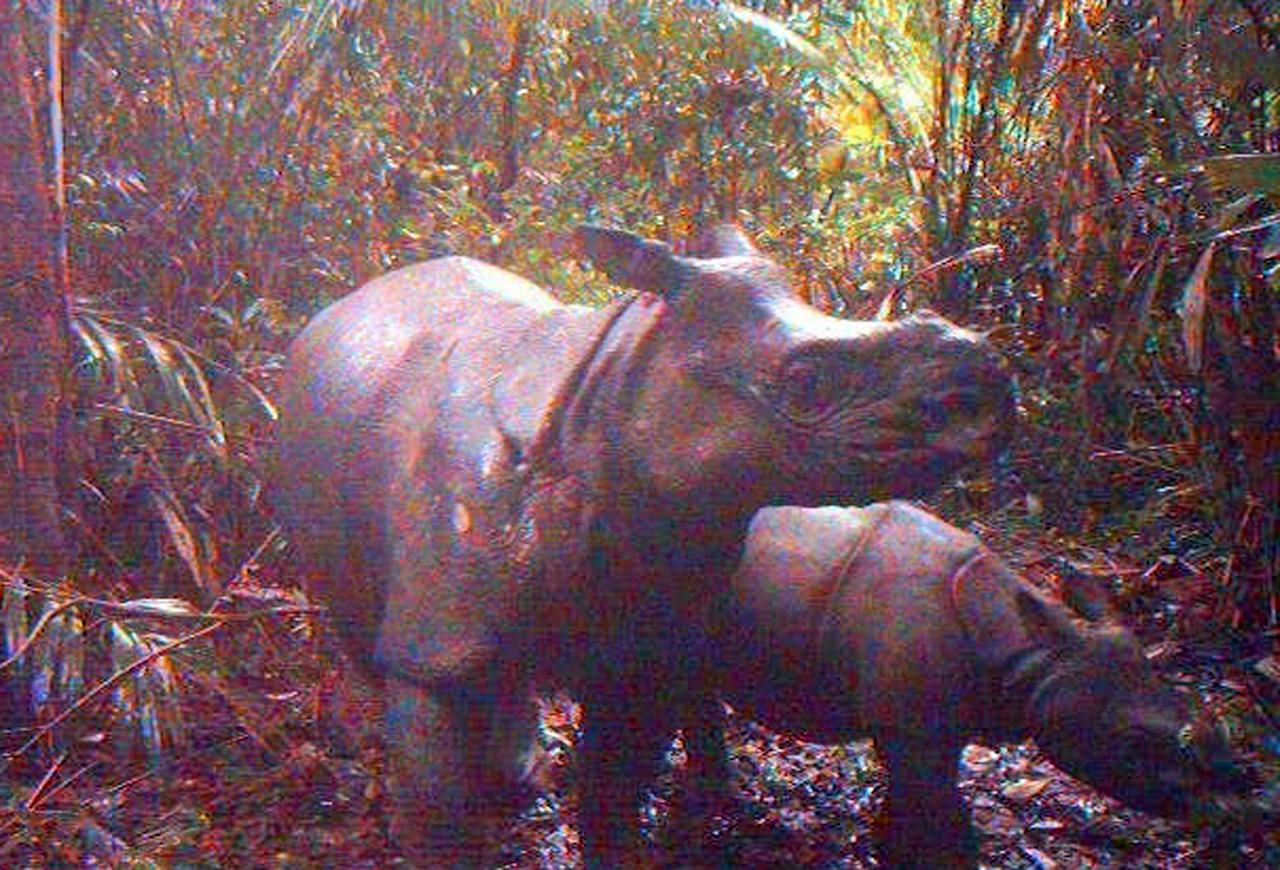In this undated image released by Ujung Kulon National Park, an adult female Javan rhino with her calf are caught by a video trap at Ujung Kulon National Park in West Java, Indonesia. Camera traps in the Indonesian park have captured images of 35 endangered Javan rhinos, five of them calves. (AP Photo/Ujung Kulon National Park) NO SALES