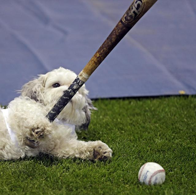 Hank, the unofficial mascot of the Milwaukee Brewers, plays with a players bat on the field before the opening day baseball game between the Milwaukee Brewers and Atlanta Braves at Miller Park, Monday, March 31, 2014, in Milwaukee. (AP Photo/Jeffrey Phelps)