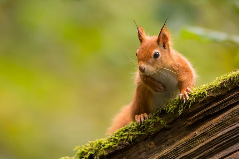 Spot red squirrels on the Isle of Wight - getty