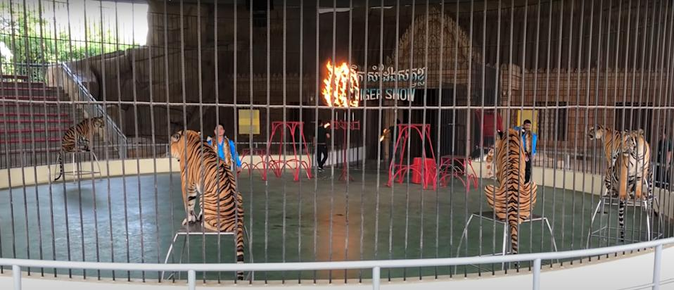 As part of the Tiger Show, tigers are made to jump through fire at Phnom Penh Safari. Source: Newsflash/Australscope