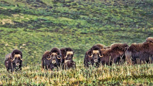 PHOTO: Muskox are pictured at the national petroleum reserve in northwest Alaska in this undated photo.  (Prisma Bildagentur/Universal Images Group via Getty)