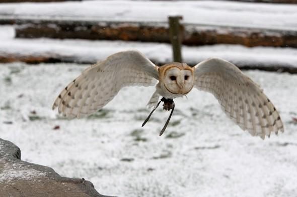 Shock as owl eaten by lions during falconry display at zoo