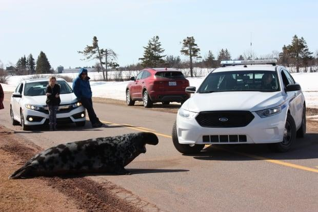 RCMP try to coax an 800-pound seal off the Route 12 in Birch Hill on Sunday. (Laura Gallant - image credit)