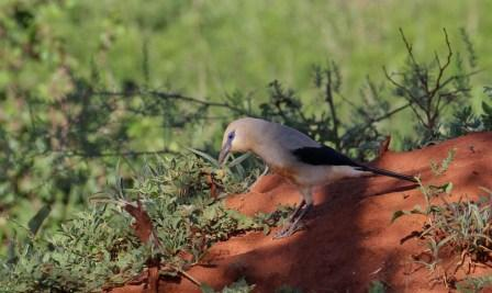 Bush-crow diaries: Settling in with the Borana