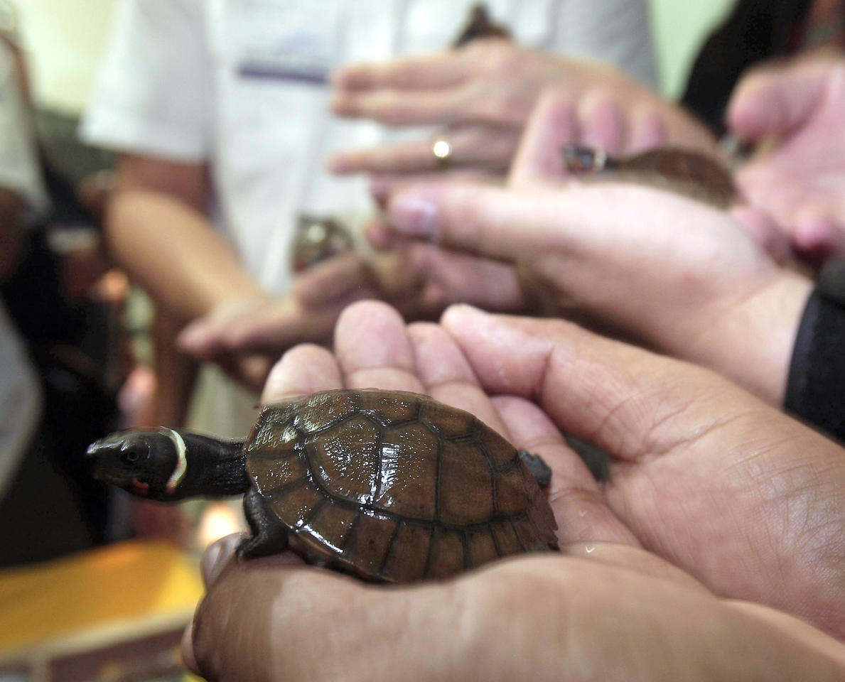 Smuggled rare pond turtles, only about 120 remain in the wild, are presented to the media upon arrival to their native Philippines from Hong Kong Friday, April 27, 2012 at Manila's international airport. A Philippine wildlife official said the 18 smuggled pond turtles were confiscated at the Hong Kong airport in February from a Chinese student, along with 13 more common box turtles. (AP Photo/Pat Roque)