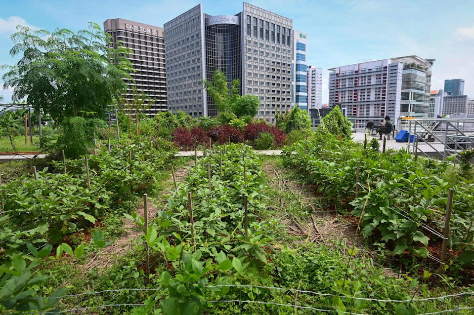 This photograph taken on September 7, 2020 shows the general view of a rooftop garden used for urban farming to grow edible plants above the Raffles City mall in Singapore. - On the rooftop of a Singapore shopping mall, a sprawling patch of eggplants, rosemary, bananas and papayas stand in colourful contrast to the grey skyscrapers of the city-state's business district. (Photo by Roslan RAHMAN / AFP) / TO GO WITH Singapore-environment-agriculture, FOCUS by Martin Abbugao (Photo by ROSLAN RAHMAN/AFP via Getty Images)