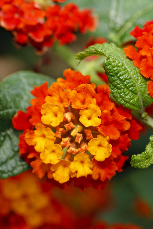 """<p>Heat and drought are two common factors that lead to gardening failure. Pick a long-lasting bloom that will withstand the heat of a Southern summer and survive a drought, like <a rel=""""nofollow"""" href=""""http://www.southernliving.com/home-garden/gardens/foolproof-flower-blooms-nonstop"""">lantana</a>. This flower thrives in full sun and doesn't require much water. Common lantana blossom into red, orange, or yellow flowers, while hybrids and other selections come in a larger range of colors. Reliable lantana is great to mix with other plants, so put them in a garden bed or window box.</p>"""