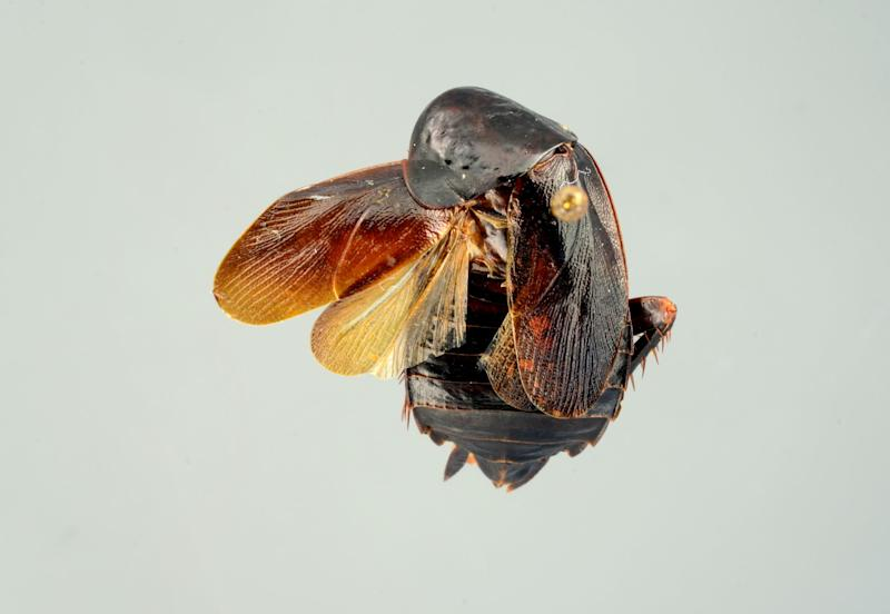 In this Jan. 9, 2013 photo provided by the University of Florida, the female Periplaneta japonica is shown. The Periplaneta japonica is new strain of cockroach that is hardy enough to withstand harsh winter cold. It has never been found in the United States before, but it has invaded New York City. Scientists believe that it's too early to tell, but but they believe there is probably little cause for concern. (AP Photo/University of Florida)
