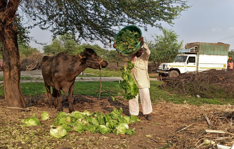 FILE PHOTO: A farmer feeds iceberg lettuce to his buffalo during a 21-day nationwide lockdown to slow the spread of coronavirus disease (COVID-19), at Bhuinj village in the western state of Maharashtra, India