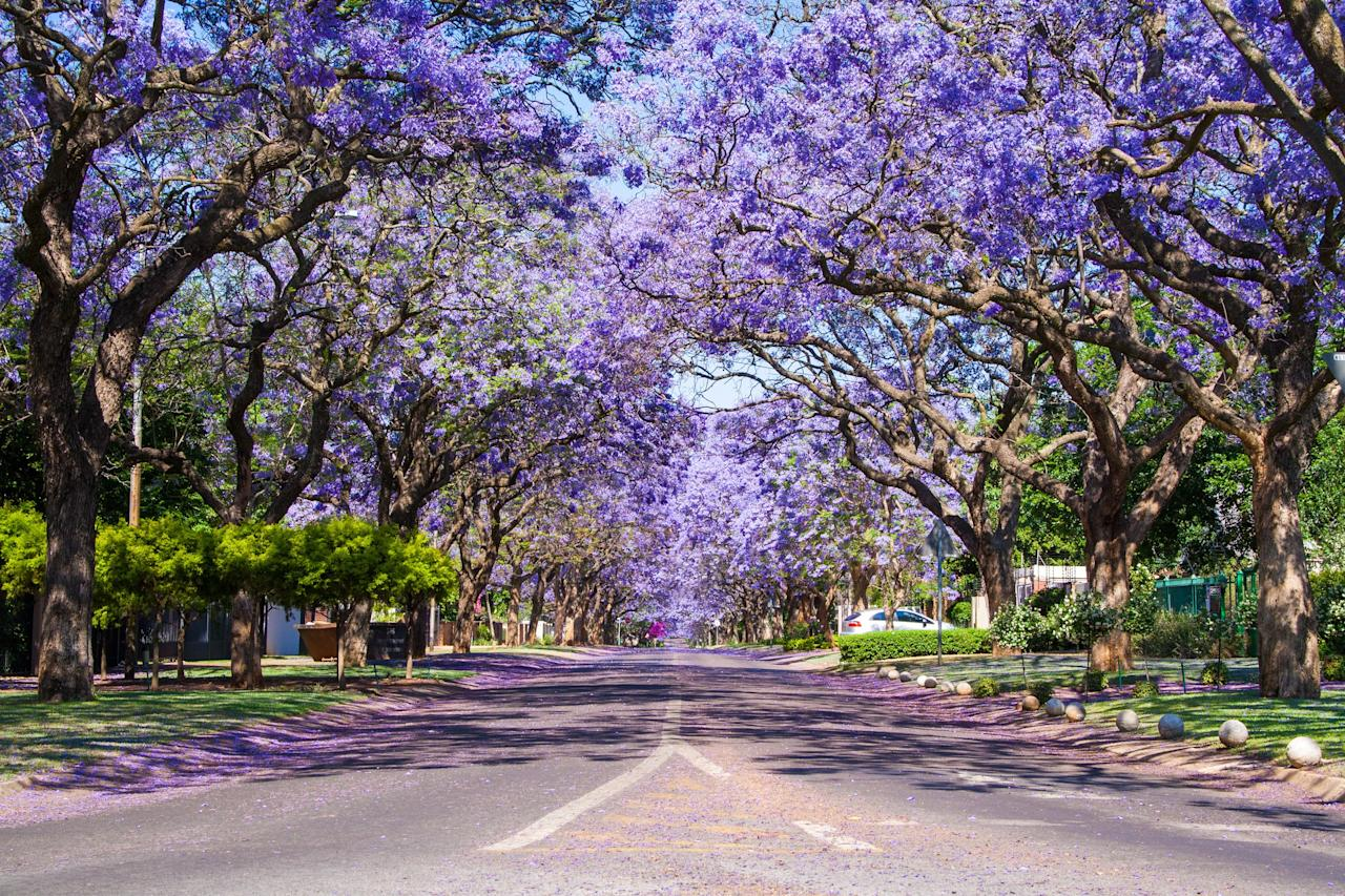 If you're planning a trip to South Africa, you should consider some time in late September through November. That's when the stunningly beautiful jacaranda trees go into bloom in South Africa. With purple branches drooping over the streets, any drive or stroll through Pretoria (where, along with Johannesburg, the trees seem to grow in every corner) will promise to be a memorable one. Fun fact: The jacaranda is actually native to Brazil, with the first one having been planted in South Africa in the late 19th century.