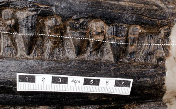 The teeth of the 'mega-apex predator' ichtyosaurs which was found with a giant lizard in its stomach. (SWNS)