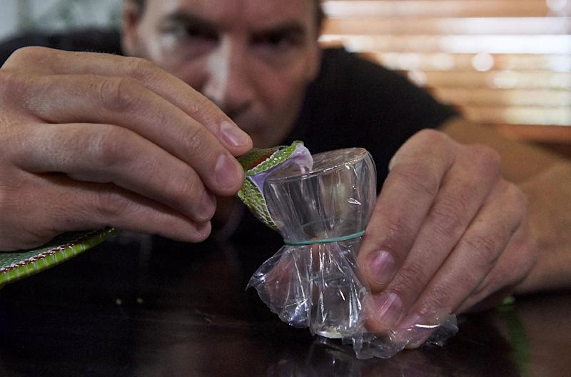 Steve Ludwin extracts the venom from a Pope's Pit Viper by forcing it to bite down on a film-covered glass (AFP Photo/NIKLAS HALLE'N)