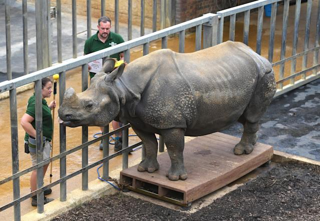 <p>Behan, the greater one-horned rhinoceros steps onto the scales, during the annual weigh-in at Whipsnade Zoo, Dunstable. (PA Images) </p>