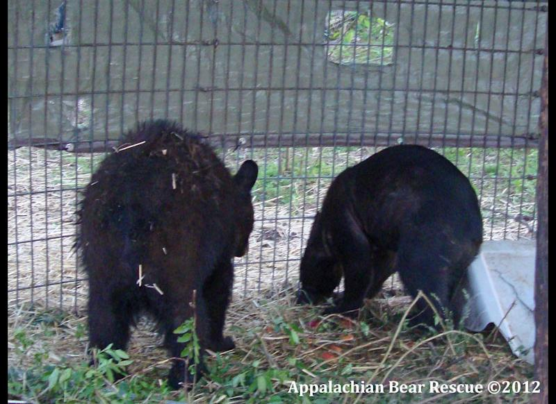 In this photo released by R.A., a black bear from Virginia, left, and Kris, a Louisiana black bear, right, are shown in this photograph taken in March 2011 and provided by Appalachian Bear Rescue of Townsend, Tenn., shortly before their release in April 2011. The animal, dubbed Kris because it arrived at the Tennessee center just before Christmas 2010, was shot and killed in southwest Mississippi in December. It had been tagged and released eight months earlier in Louisiana. Wildlife officials are investigating and say a suspect, an Amite County man, could face federal charges because Louisiana black bears are protected under the Endangered Species Act. (AP Photo/Appalachian Bear Rescue)