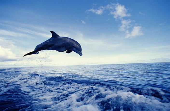 Bottlenose dolphin, jumping from water.<br />