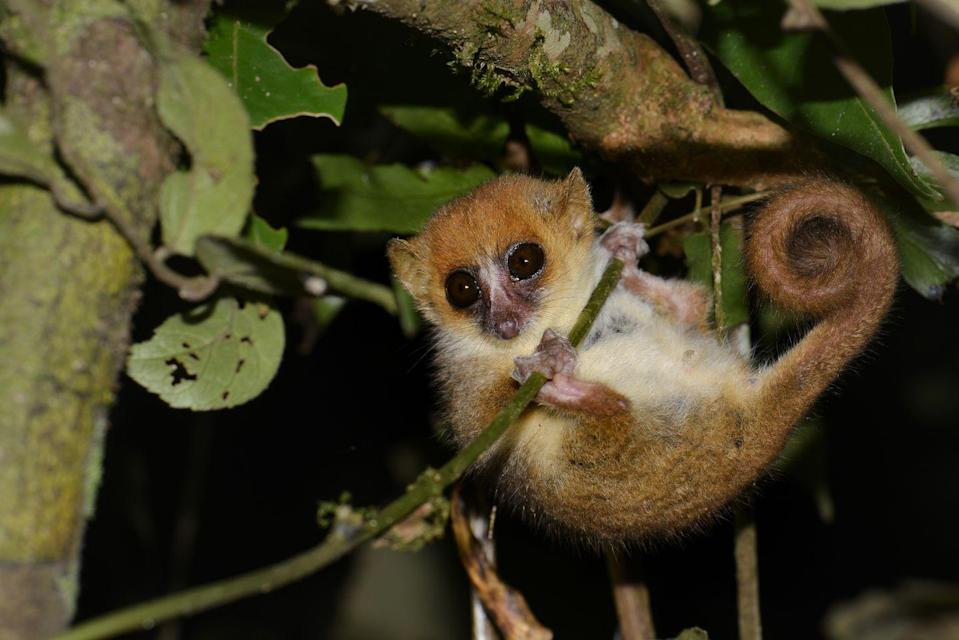 """<p>Although the Pygmy marmoset's are the smallest monkey species, the mouse lemur is the <a href=""""https://www.nationalgeographic.com/animals/mammals/group/mouse-lemurs/"""" rel=""""nofollow noopener"""" target=""""_blank"""" data-ylk=""""slk:smallest primate in the world"""" class=""""link rapid-noclick-resp"""">smallest primate in the world</a>, according to National Geographic. These nocturnal Madagascar residents weigh between 1 and 4 ounces and grow to between 2.25 and 4.75 inches in height. Their tails, however, can be almost that long, growing to about 4.75 inches. </p>"""
