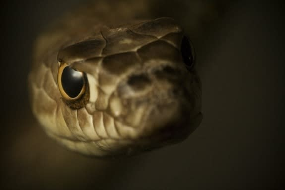Snakes Control Blood Flow to Boost Vision