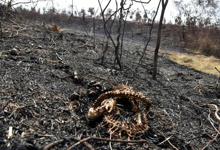 This snake could not escape the flames of a fire in the Otuquis National Park in eastern Bolivia (AFP Photo/Aizar RALDES)