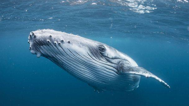 PHOTO: A humpback whale swims in the waters near Tonga. (STOCK PHOTO/Getty Images)