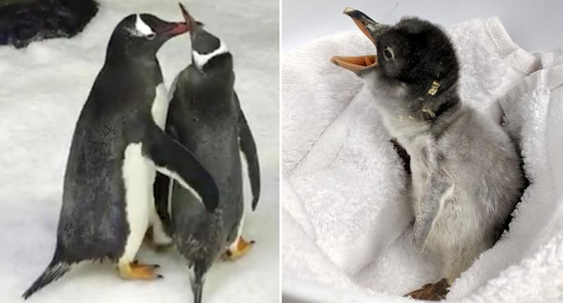 Gay Penguins Welcome Baby Chick Into The World