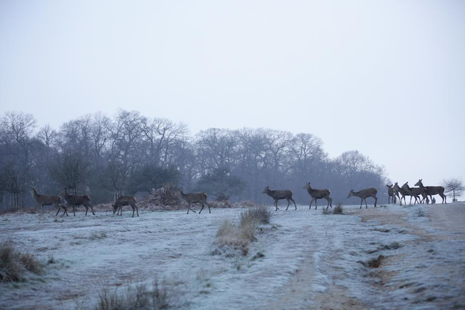 Deer roam a frost-covered Richmond Park, south-west London, during a cold start to the day in the capital. (PA Images via Getty Images)