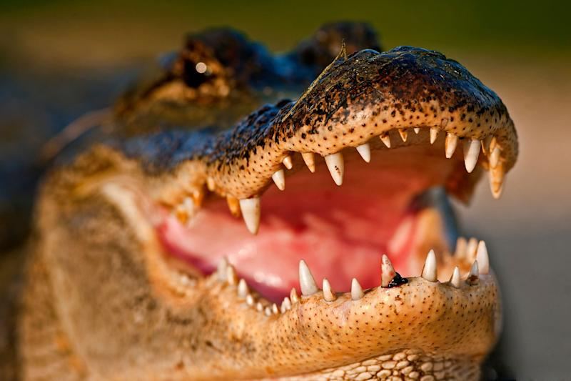 You probably don't need to worry about alligators on meth. But you still shouldn't flush most drugs.  (Photo: D Williams Photography via Getty Images)