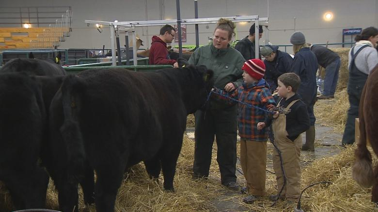 'Steer wars': P.E.I. brothers take to the ring at the annual Easter Beef Show
