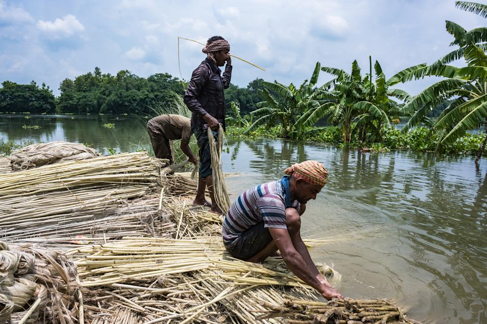 The Jalangi river water has flooded farmlands. Farmers try to save premature usable jute in Tehatta, West Bengal, Nadia, India on July 14, 2020. The Jalangi river water has flooded farmlands. Flood threat over West Bengal, Assam and Bihar as heavy monsoon rains continues. (Photo by Soumyabrata Roy/NurPhoto via Getty Images)