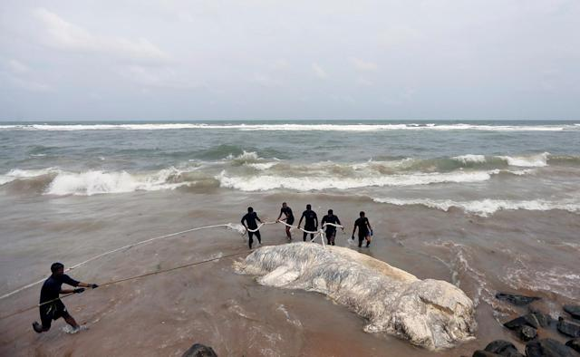 <p>Military officials pull a dead whale out of the sea in Colombo, Sri Lanka May 22, 2017. (Photo: Dinuka Liyanawatte/Reuters) </p>