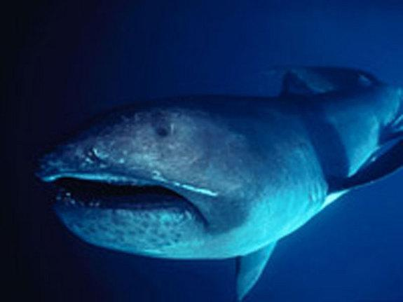 A newly identified ancient creature was related to the megamouth shark, <em>Megachasma pelagios</em> (shown here). But unlike the modern shark, it had slightly longer, pointier teeth.