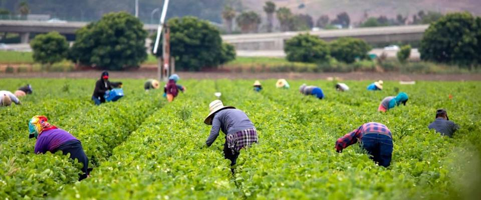 Farm workers picking strawberries in a field