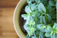 "<p>Fresh mint can be used in much more than just tea: it can even give your house a clean smell without being overly floral. This is the perfect one to have on your kitchen windowsill to bring a fresh scent to the room. </p><p><a class=""link rapid-noclick-resp"" href=""https://go.redirectingat.com?id=127X1599956&url=https%3A%2F%2Fwww.waitrosegarden.com%2Fplants%2F_%2Fmentha-spicata%2Fclassid.2000029721%2F&sref=https%3A%2F%2Fwww.housebeautiful.com%2Fuk%2Fgarden%2Fplants%2Fg28899283%2Fplant-alternatives-air-fresheners%2F"" rel=""nofollow noopener"" target=""_blank"" data-ylk=""slk:BUY NOW"">BUY NOW</a></p>"