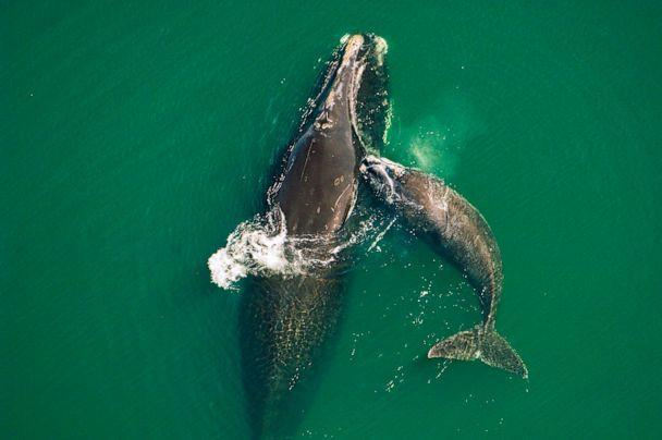 PHOTO: A North Atlantic right whale calf nuzzles its mother in Northern Florida. This species has struggled to produce enough calves to increase its dwindling population.  (Brian Skerry)