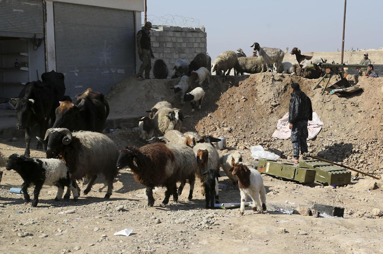 Livestock cross the front line between Iraqi security forces and Islamic State militia in Abu Saif town, outside the western side of Mosul, Iraq, Wednesday, Feb. 22, 2017. (AP Photo/ Khalid Mohammed)