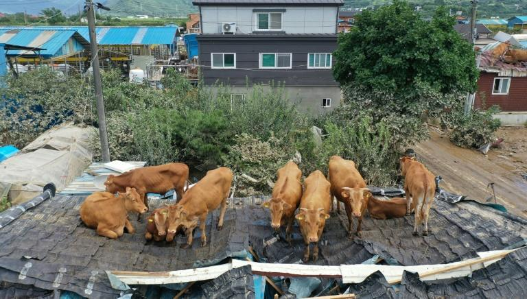 Cows are stranded on a rooftop after seeking refuge there during heavy flooding in South Korea
