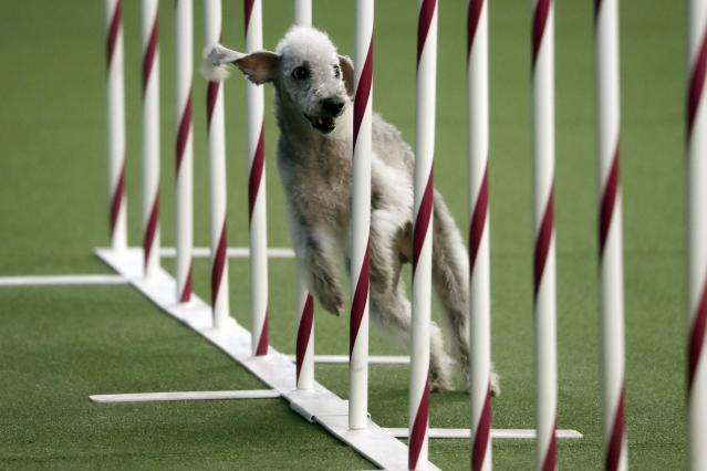 Valkyrie, a Bedlington terrier, competes in the Masters Agility preliminary rounds during the Westminster Kennel Club Dog Show on Saturday, Feb. 9, 2019, in New York. (AP Photo/Wong Maye-E)