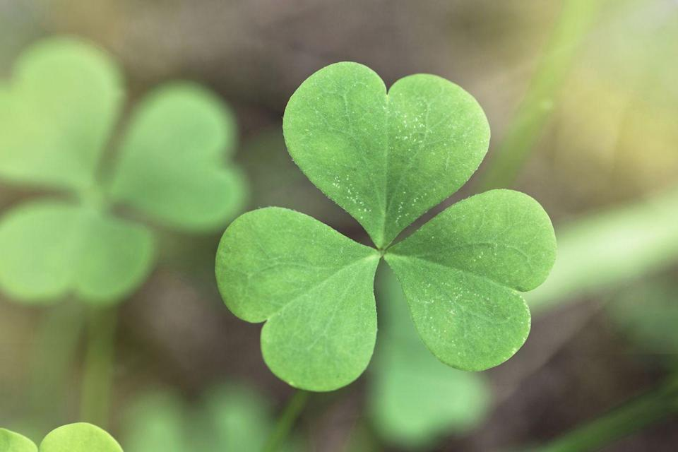 "<p><a href=""https://en.wikipedia.org/wiki/Shamrock#Link_to_St._Patrick"" rel=""nofollow noopener"" target=""_blank"" data-ylk=""slk:St. Patrick reportedly used shamrocks"" class=""link rapid-noclick-resp"">St. Patrick reportedly used shamrocks</a> to explain the Holy Trinity, but later interpretations also said the <a href=""http://metro.co.uk/2016/03/17/st-patricks-day-2016-the-difference-between-a-shamrock-and-a-four-leaf-clover-5758043/"" rel=""nofollow noopener"" target=""_blank"" data-ylk=""slk:three leaves"" class=""link rapid-noclick-resp"">three leaves</a> are meant to symbolize hope, love, and faith. If there's a fourth leaf, it symbolizes luck, which is why we consider four-leaf clovers to be lucky. </p>"