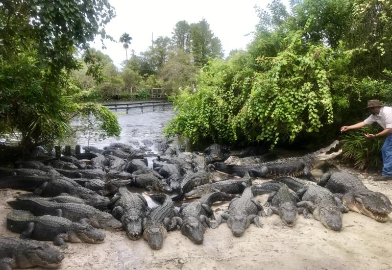 Dozens of alligators are seen basking in the sun along a shore at Gatorland in Orlando, Florida. (Gatorland)