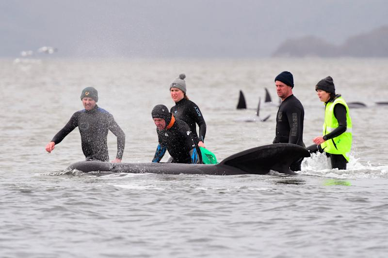 Members of a rescue crew stand with a whale on a sand bar near Strahan, Australia (AP)