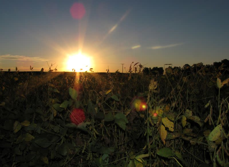 FILE PHOTO: Soybeans are seen before being harvested on the outskirts of General Villegas