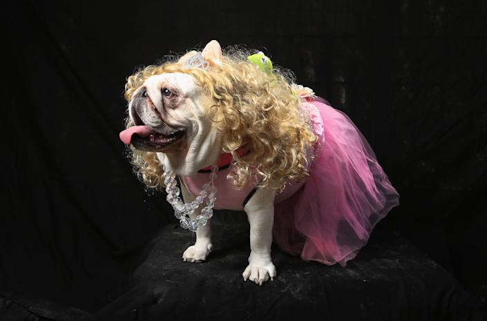 Bulldog Bella poses as Miss Piggy at the Tompkins Square Halloween Dog Parade. (Photo by John Moore/Getty Images)