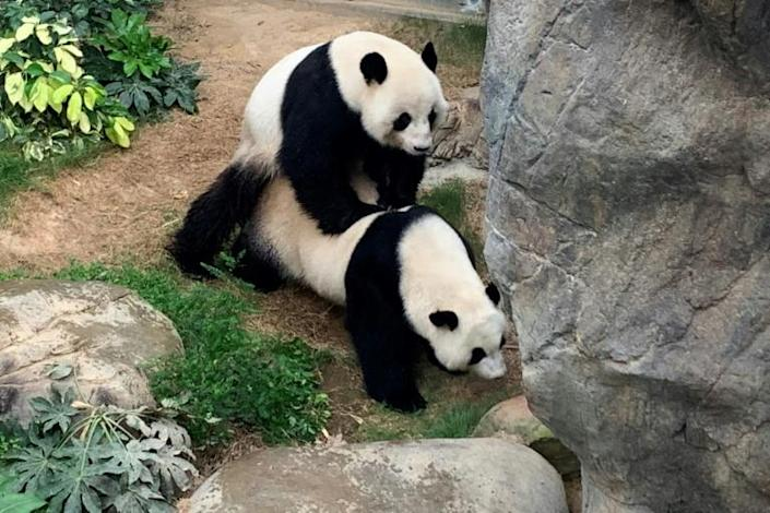 Experts will now monitor Ying Ying for signs of pregnancy, but it may be quite some wait as the gestation period for giant pandas ranges from 72 to 324 days (AFP Photo/Handout)