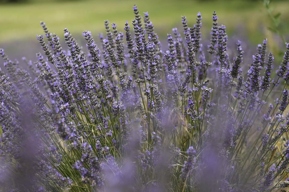 <p>Mosquitoes hate lavender, and it's also one of the most fragrant, beautiful, and easy plants to grow. You can plant lavender in a window box to keep mosquitoes out of your kitchen or place pots of lavender throughout your patio and garden to keep them away. Just make sure the lavender gets plenty of sun!</p>