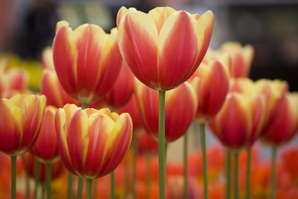 """<p>There's nothing like seeing the first flowers of spring to raise your spirits after a long, dark winter. Many spring flowers pop up even when it's still snowy out, like glory of the snow which are pretty white, pink, and <a href=""""https://www.thepioneerwoman.com/home-lifestyle/gardening/g32173991/blue-flowers/"""" rel=""""nofollow noopener"""" target=""""_blank"""" data-ylk=""""slk:blue flowers"""" class=""""link rapid-noclick-resp"""">blue flowers</a>, to remind you of the sunny days ahead. Whether you choose annuals to replant each season or perennials that come back year after year, including a variety of spring flowers in your <a href=""""https://www.thepioneerwoman.com/home-lifestyle/gardening/g32095995/landscaping-ideas/"""" rel=""""nofollow noopener"""" target=""""_blank"""" data-ylk=""""slk:landscaping ideas"""" class=""""link rapid-noclick-resp"""">landscaping ideas</a> will provide constant blooms from early spring until the warmer days of summer arrive. </p><p>The most important factor when planning your garden is making sure you give your plants exactly what they need. To start, you'll want to clearly read the plant's label. Full sun means six or more hours of direct sunlight; part sun means about half of that. On the other hand, full shade means no direct sunlight or only a tiny bit of mild morning sun. Sun lovers will not bloom in shade, and shade lovers will sizzle if you plant them in direct sun. Finally, make sure when you're planting perennials that you choose those that can survive winters in your <a href=""""https://plants.usda.gov/hardiness.html"""" rel=""""nofollow noopener"""" target=""""_blank"""" data-ylk=""""slk:USDA hardiness zone"""" class=""""link rapid-noclick-resp"""">USDA hardiness zone</a>.</p><p>Before you start planning your garden with these beautiful spring flowers, make sure you have the right gear first. Grab a pair of <a href=""""https://www.thepioneerwoman.com/home-lifestyle/gardening/g32433477/best-garden-gloves/"""" rel=""""nofollow noopener"""" target=""""_blank"""" data-ylk=""""slk:gardening gloves"""" class=""""link rapid-noclick-"""