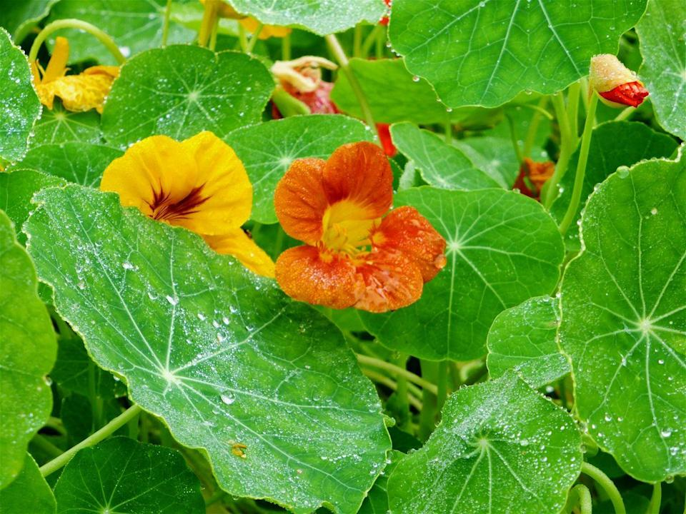 <p>Preferring poor soil and full sun or partial shade, consider this the best low-maintenance hanging plant, specifically its trailing varieties. While most are annuals, some nasturtiums will also grow as perennials in zones 9-11. </p><p><strong>Zones: 4-8</strong></p>