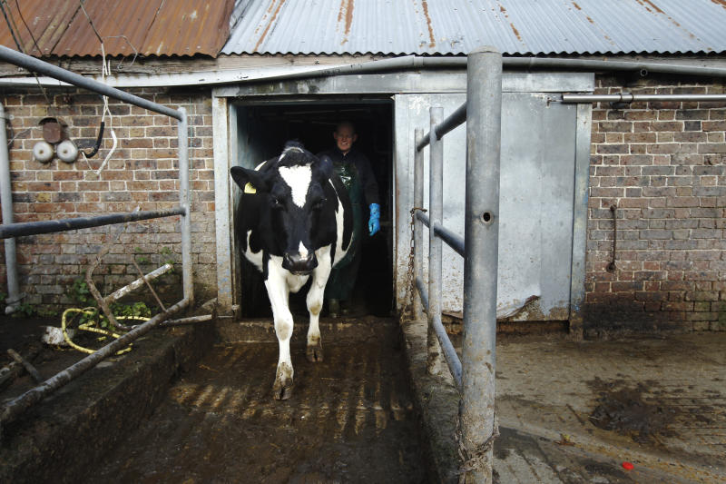 A Friesian Holstein cow leaves the milking parlour watched by farmer Steve Hook at Longleys Farm in Hailsham, southern England December 17, 2011. London department store Selfridges has circumvented a legal ban on the sale of raw milk in British shops by having it supplied direct by dairy farmers Hook & Son, from Longleys Farm in Hailsham. Photograph taken December 17, 2011. REUTERS/Luke MacGregor (BRITAIN - Tags: AGRICULTURE BUSINESS ENVIRONMENT FOOD)
