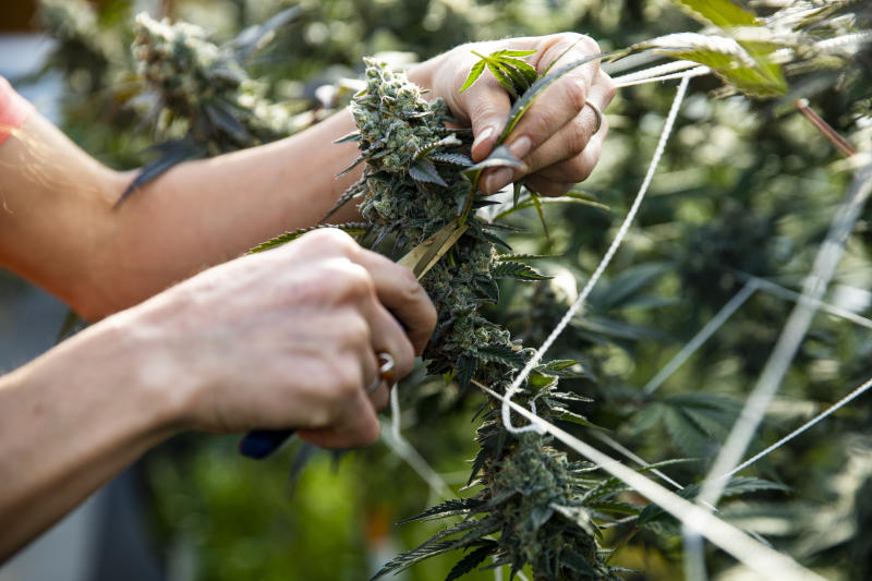 A woman trimming a marijuana plant ready for harvest.