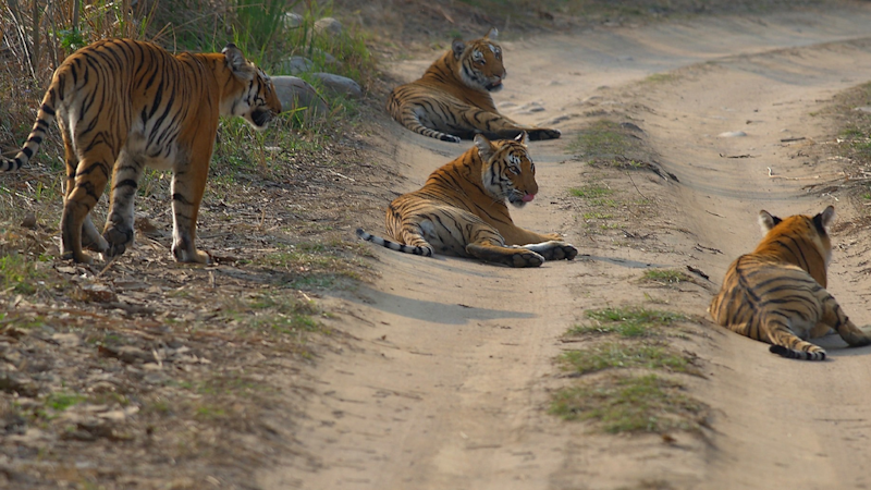 Global Tiger Day: India's tiger population roars to record heights