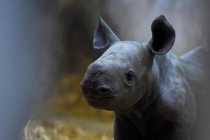 The male calf will be expected to breed to preserve the species as the majority of black rhinos in zoos are female (AFP Photo/NICOLAS TUCAT)