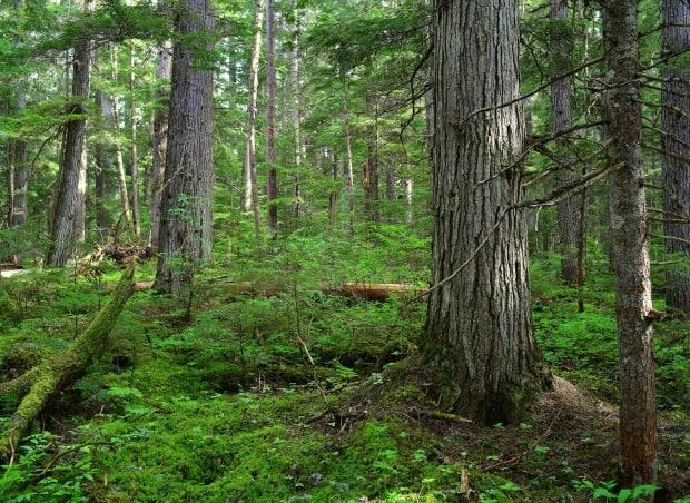 An example of rainforest in the Interior wet belt bio-region, which is the focus of a recent study by conservation scientists. (Submitted by University of Northern British Columbia - image credit)